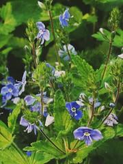 Green and blue (msergeevna) Tags: blue green flowers spring fleurs printemps kevät kukkia sininen