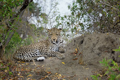 Leopard (Lambert Reinds) Tags: leopard luipaard sabisands krugerpark canon5d 100400ii tuskphoto elephantsplainsgamelodge vanbommelsafari