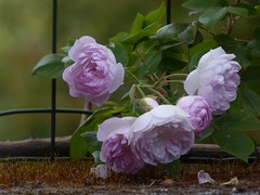romantiche roselline (fotomie2009) Tags: rose rosa pink flora flowers fiore 5 five cinque moss vintage postcard