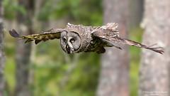 _E7_3518-Bartkauz2048 (engler_naturfoto) Tags: bartkauz vogel greifvogel eule eulen bird birds norwegen wildlife