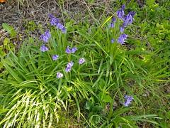"""Oberschwaben 17.5.2019 mit Samsung Galaxy Note 8 (72er-Serie) (warata) Tags: 2019 deutschland germany süddeutschland southerngermany schwaben swabia oberschwaben """"upper swabia"""" """" schwäbischesoberland"""" """"badenwürttemberg"""" badenwuerttemberg landschaft landscape """"samsung galaxy note 8"""" frühling spring nature biotop pflanzen blüten outside garden"""