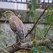 Chinese Pond Heron - hong Kong