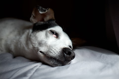 Sleepy Alfie (block109) Tags: dog sleepy fujifilm x100s terrier naturallight window light