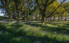 Woods by the Firth. (Gordie Broon.) Tags: woodland bluebells trees coulmore scotland schottland landscape paysage redcastle charlestown paisaje ecosse beaulyfirth scottishhighlands rossshire escocia scenic light shadows woods northkessock milton may 2019 caledonia alba inverness beauly gordiebroonphotography sonya7rmkii ilce7rm2 sonyzeiss1635f4lens forest geotagged craigrory blackisle