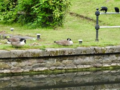 Canada Geese & Carrion Crows, Monmouthshire-Brecon Canal, Five Locks, Pontnewydd, Cwmbran 20 May 2019 (Cold War Warrior) Tags: corvuscorone carrioncrow canada goose canal goslings pontnewydd cwmbran