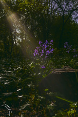 bluebell spotlight (travelingjournalist) Tags: bluebellwildflower blue bluebellwood bluebells flowers forest inthemist landscape misty morningbluebell nature secretgarden spring sunlight trees wildflowehyacinthoidesnonscripta wolvertonsecretgarden wood woodland