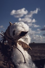 Cotton plant 🌱 or cotton clouds (diannerobbins1) Tags: compactcamera canong7xii g7xii clouds cottonplant cotton