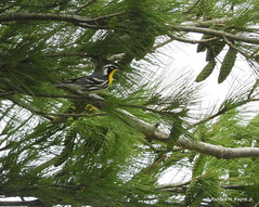 Yellow-throated Warbler_N9925 (Henryr10) Tags: fernaldpreserve fernald harrisonoh greatmiamiaquifer fernaldnaturepreserve ohio usa avian bird vogel ibon oiseau pasare fågel uccello tékklistar warbler songbird yellowthroatedwarbler setophagadominica setophaga ytwa