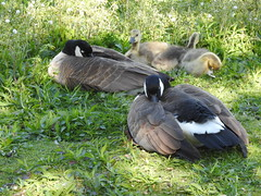 Seattle, Lake Union, Canadian Geese and goslings DSCN4148 (ianw1951) Tags: birds geese seattle unitedstates usa washingtonstate