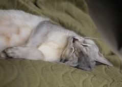 20190328_18_LR (enno7898) Tags: panasonic lumix lumixg9 dcg9 olympus mzuiko cat abyssinian pet