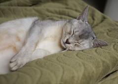 20190328_11_LR (enno7898) Tags: panasonic lumix lumixg9 dcg9 olympus mzuiko cat abyssinian pet