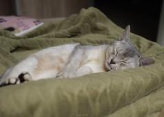 20190328_05_LR (enno7898) Tags: panasonic lumix lumixg9 dcg9 olympus mzuiko cat abyssinian pet