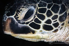 You're beautiful (Lea's UW Photography) Tags: lealee canon5dmk3 subal canonef815mm fisheye wideangle bunaken underwater turtle