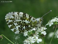 Orange tip (LPJC) Tags: orangetip butterfly rivertrent nottinghamshire uk 2019 lpjc