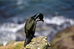 Cormoran huppé (Guy Duhamel) Tags: cormoranhuppé cormoran lunga ecosse