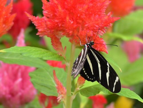 3330e Zebra Longwing on Celosia