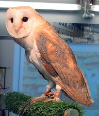 Guinevere (billnbenj) Tags: barrow cumbria owl barnowl raptor birdofprey