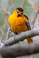 Bullock's Oriole (Gf220warbler) Tags: idaho migrant icyeridae riparian passerine songbird