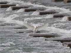 H5199616 (unitcell) Tags: 台灣 新竹 頭前溪 taiwan bird