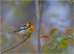 Blackburnian Warbler (Summerside90) Tags: birds birdwatcher warblers blackburnianwarbler may spring migration nature wildlife rondeauprovincialpark ontario canada