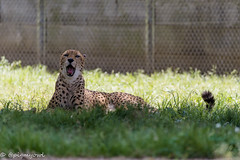 20190519-0012 (M.Pigmyowl) Tags: cheetah チーター 多摩動物公園
