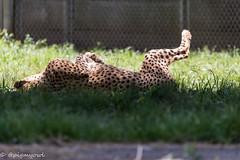 20190519-0010 (M.Pigmyowl) Tags: cheetah チーター 多摩動物公園