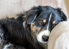 Home (jayvan) Tags: dash aussie australianshepherd dog home chair nap portland oregon twtme
