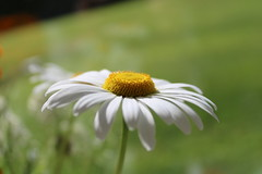 Big white daisy (krpena.lutkica) Tags: daisy flowers nature background wallpaper freespaceforcopy tag petals polen ireland natural summer blooming season flora closeup macro outdoor field garden