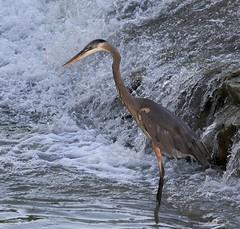 _A180983 (melsdad1) Tags: whiterocklake dallas texas spillway fishing heron egret nightheron sony100400mm sony7riii ibis