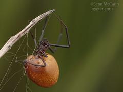 20190517-IMG_2697 (Sean McCann (ibycter.com)) Tags: agryodes agryodespluto texas theridiidae