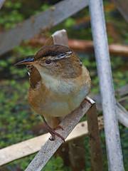 Troglodyte des marais -------  Marsh wren -------    Cucarachero pantanero (Jacques Sauvé) Tags: troglodyte des marais marsh wren cucarachero pantanero bird oiseau ave