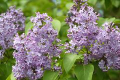 Syren-7435 (Kenneth Gerlach) Tags: haslev syren blomst