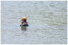 Red-crested pochard (Tom Warne Photography) Tags: redcrested pochard