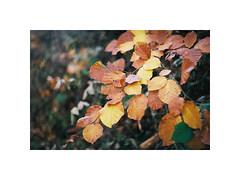 Leafs (kotmariusz) Tags: leafs nature 35mm poland exa1b fujicolor natura analog filmphotography
