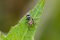 IMG_5133-tr (JLBenazra) Tags: bali201905 bali araignées spider