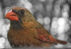 Lady Cardinal 1 (LadyCardinalJenny) Tags: ladycardinalphotography jenniffertaylor nikond3200 animal bird ladycardinal femalecardinal