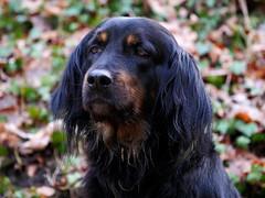 46488648631_657d38f5ba_o (daniele.hauenstein) Tags: hund hovawart