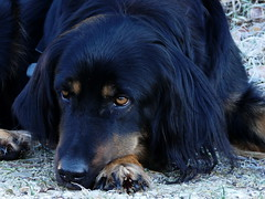 PIC13553-FZ300 (daniele.hauenstein) Tags: hund hovawart