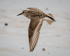 Semipalmated Sandpiper (tresed47) Tags: 2019 201905may 20190517newjerseybirds birds canon7dmkii capemay capemaynwr content flightshot folder general kimblesbeach may newjersey peterscamera petersphotos places sandpiper season semipalmatedsandpiper shorebirds spring takenby us