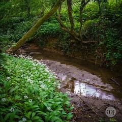 12 @ In Wild Garlic Woods (Marcell Jarvas) Tags: wildgarlic alliumursinum hooknorton flower woods stream sony a7rii voigtlander 40mmf12 landscape