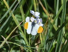 Topping up (Grumpys Gallery) Tags: orangetip butterflies insects wildlife nature male