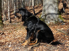 PIC13770-FZ300 (daniele.hauenstein) Tags: hund hovawart