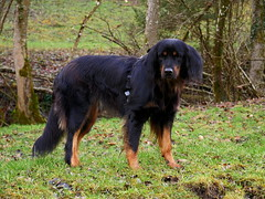 46586687011_26c4e5f0e7_o (daniele.hauenstein) Tags: hund hovawart