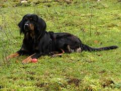 PIC13677-FZ300 (daniele.hauenstein) Tags: hund hovawart