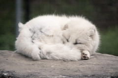 Sleepy Guy (MattPokluda) Tags: nature zoo animal wildlife toronto ontario canada fox arctic nikon d5200 telephoto matt james poklua cute soft photography white