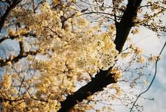 "20190521-01-PentaxLX-Rkenon50mm-Fuji-C200-400022_000011 (u2penguin) Tags: pentaxlx pentax lx richo xr rikenon richoxrrikenon50mmf2 50mm fujifilm fujicolor fuji c200 fujifilmfujicolorc200""fujifilm c200"" fujicolorc200 iso200 film filmphotography 35mm 35mmfilm analogphotography analog"