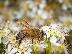 HONEY BEE 3 (Nigel Bewley) Tags: honeybee apismellifera hymenoptera insect lavender macro ealing london england uk garden nature naturalhistory greatoutdoors wildlifephotography ukwildlifenature unlimitedphotos may may2019 nigelbewley photologo amateurphotographer appicoftheweek