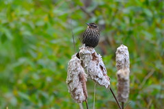 On a Drizzly Morning... (Neal D) Tags: bc abbotsford milllake bird redwingedblackbird agelaiusphoeniceus female