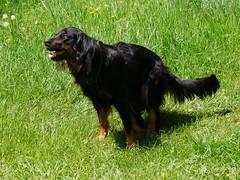 PIC15305-G81 (daniele.hauenstein) Tags: hund hovawart