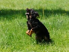 PIC15307-G81 (daniele.hauenstein) Tags: hund hovawart
